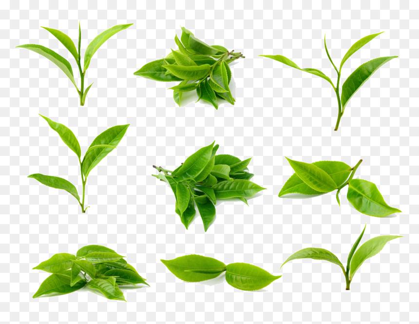 Green Tea Leaf Hd Png Download Vhv