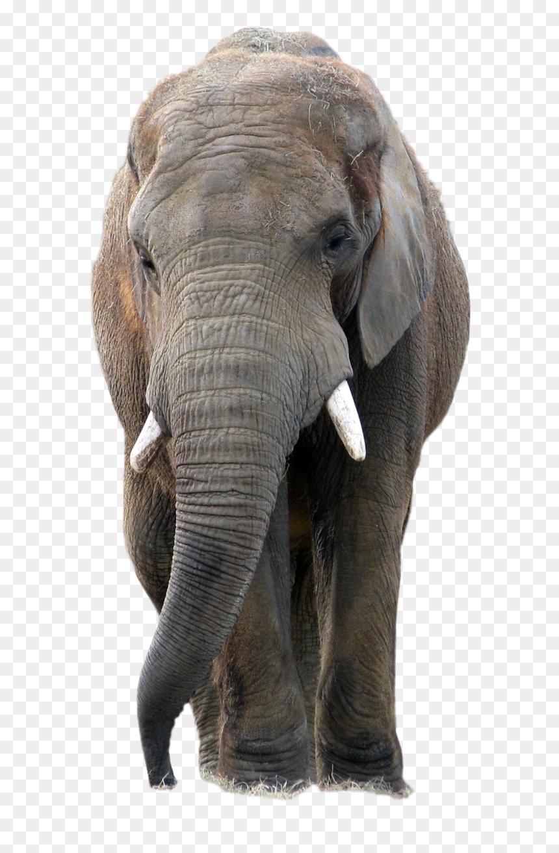 Transparent Background Elephant Picture Png Png Download Vhv Elephant illustration, african bush elephant asian elephant african forest elephant, elephant. transparent background elephant picture