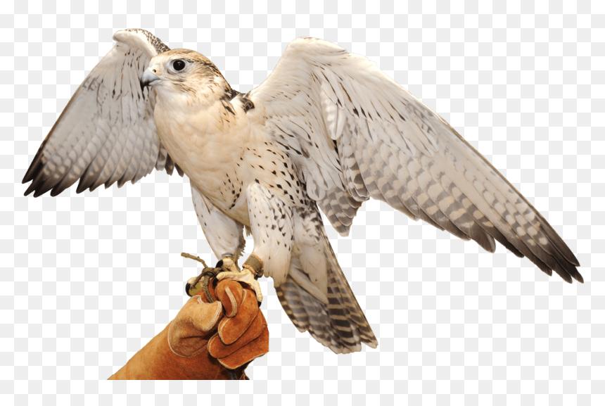 Falcon Bird Of Prey Beak Wing Snowy Owl Cooper S Shinned Arab Falcon Png Transparent Png Vhv