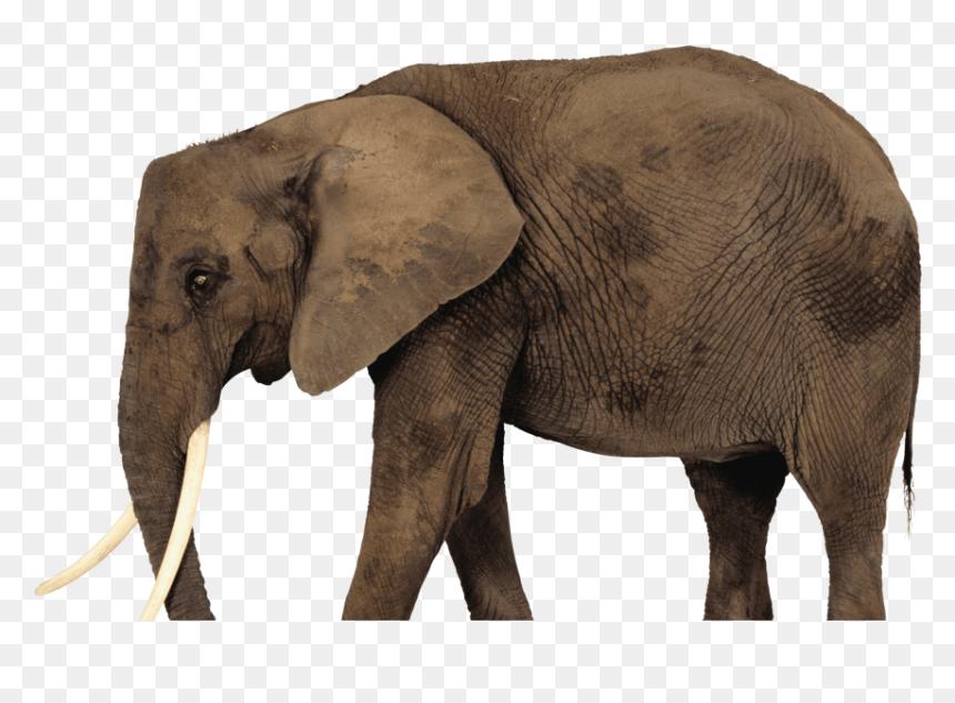 African Elephant Png Transparent Png Vhv Available in png and vector. african elephant png transparent png vhv