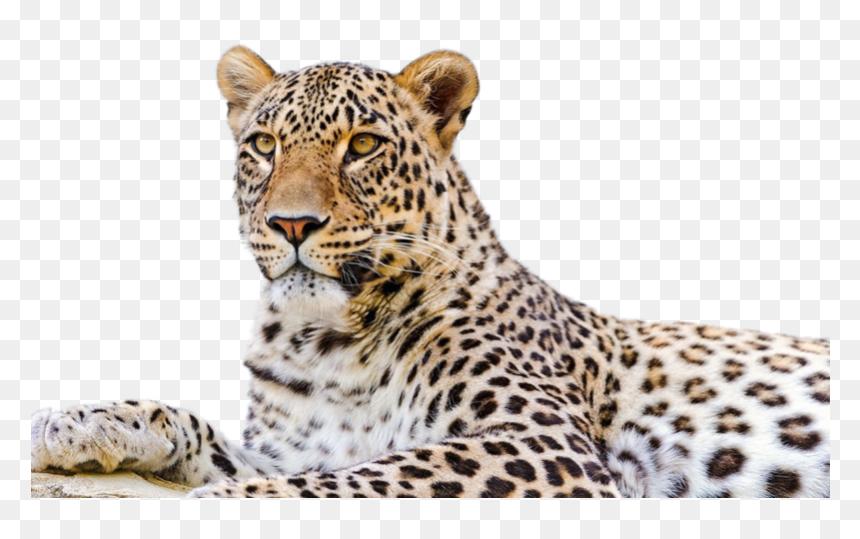 Persian Leopard Snow Leopard Desktop Wallpaper Felidae Amur Leopard Transparent Background Hd Png Download Vhv