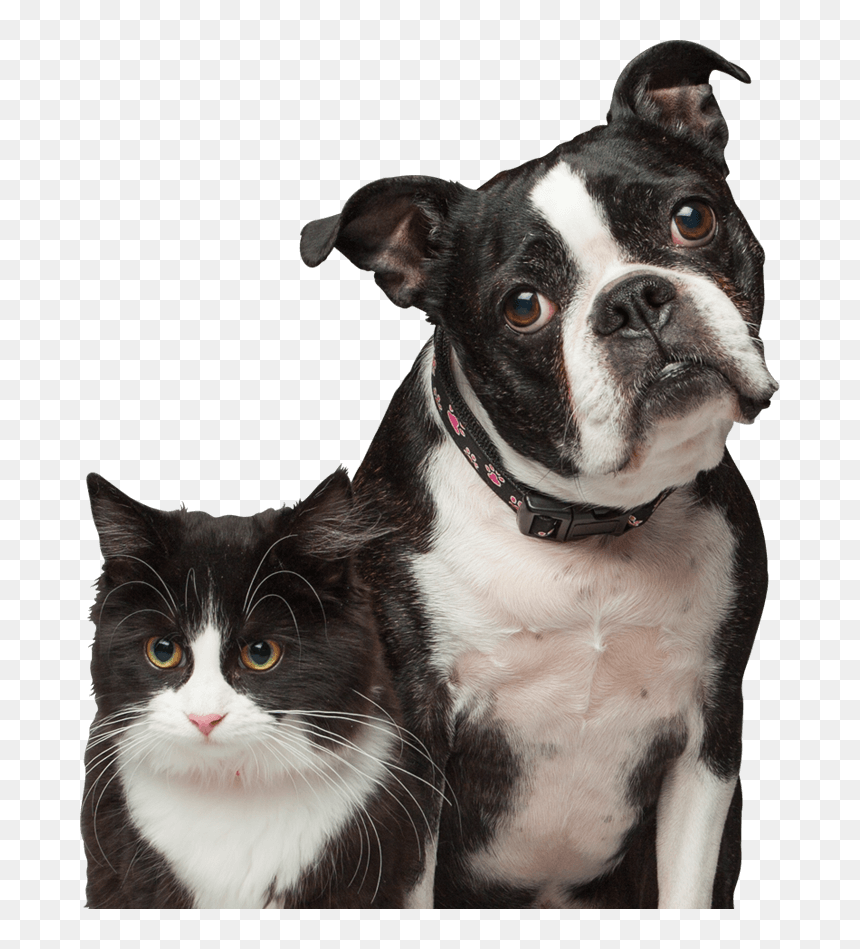 Cat And Dog Boston Terrier Hd Png Download Vhv