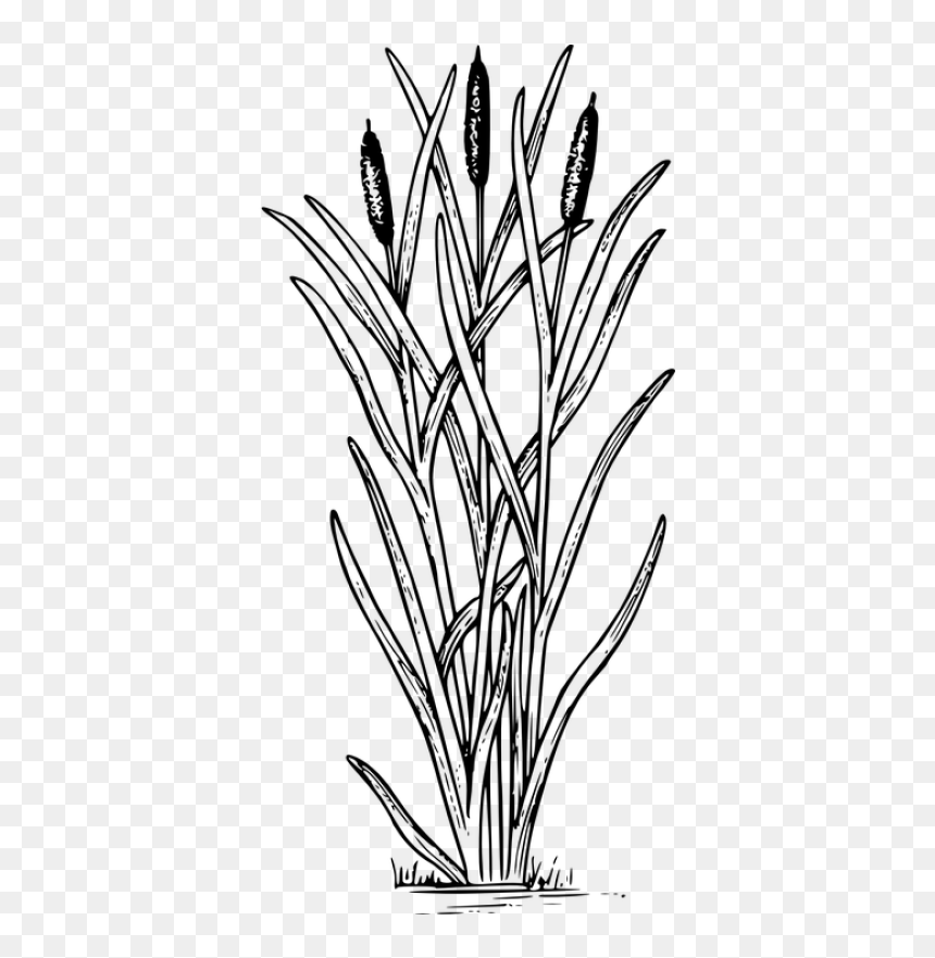 Reed Unkraut Natur Pflanze Title Reed Cattail Clipart Hd Png Download Vhv