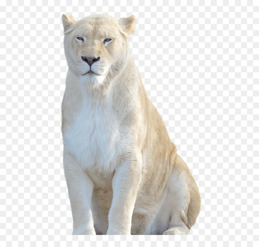 Download Lion Png Transparent Images Transparent Backgrounds White Lion Transparent Background Png Download Vhv