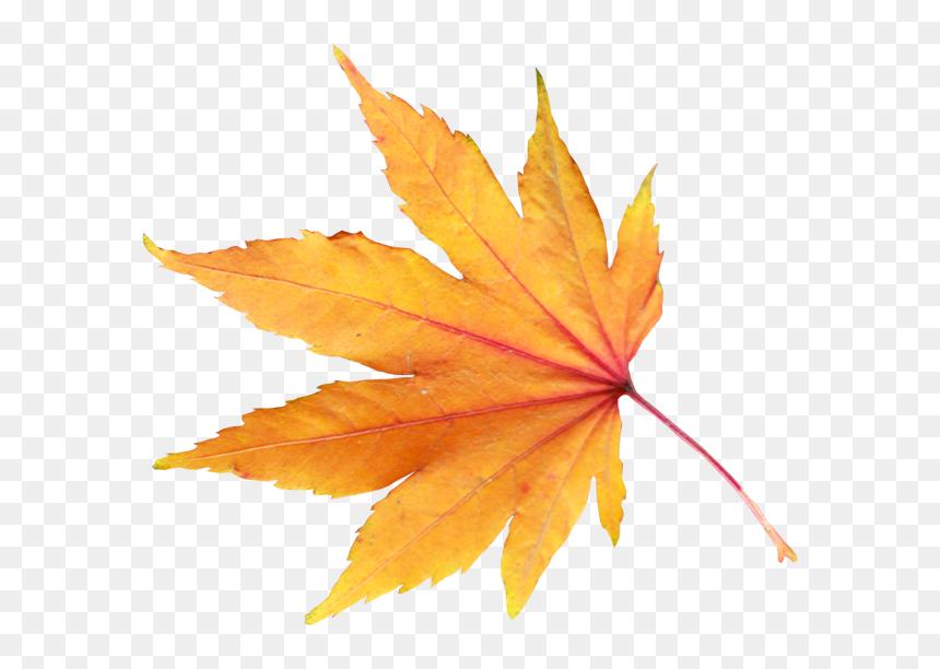 Golden Autumn Leaves Png Transparent File Transparent Background Autumn Leaf Png Png Download Vhv