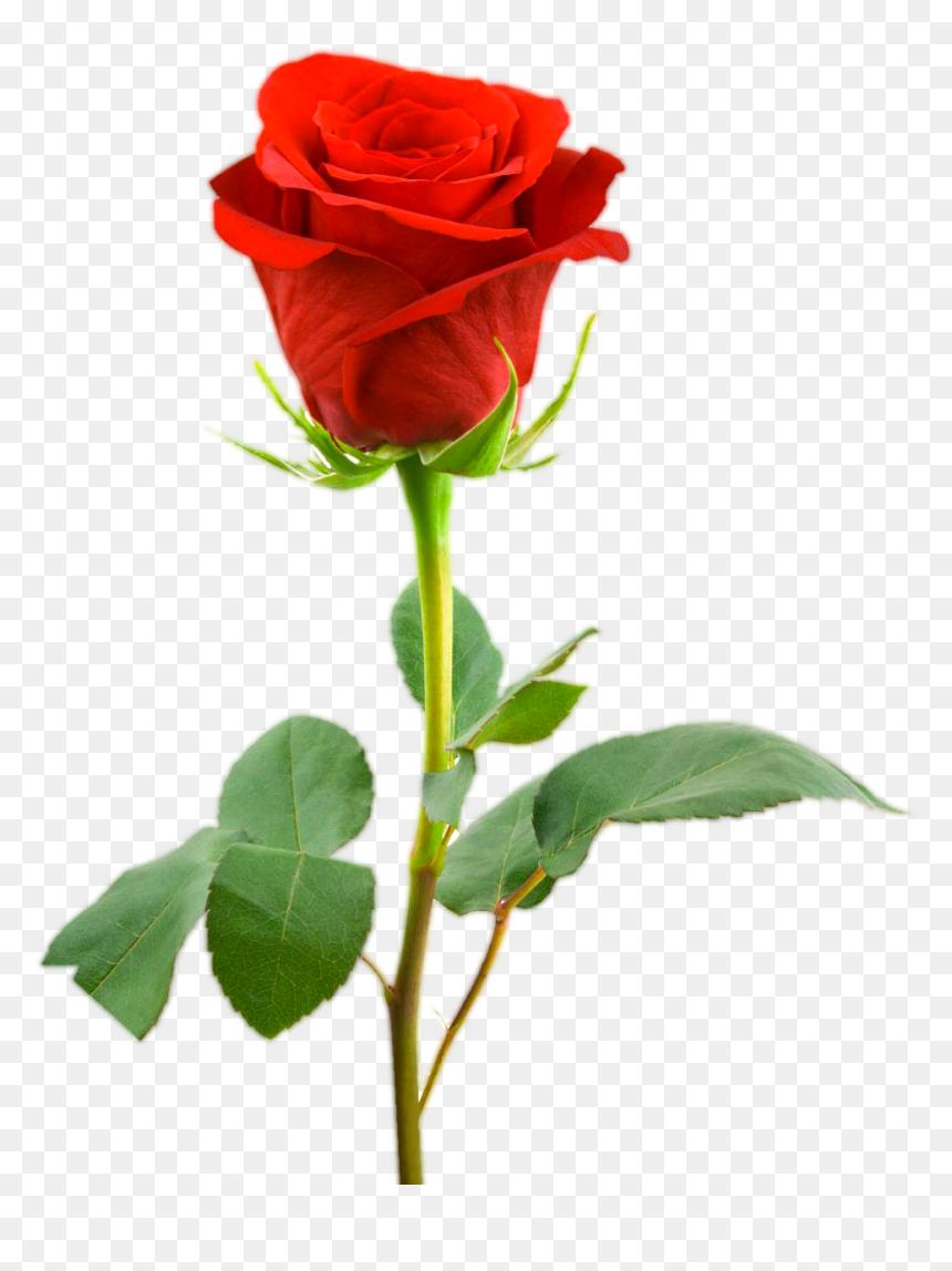 Love Red Rose Png Images Single Red Rose Image Hd Transparent Png Vhv