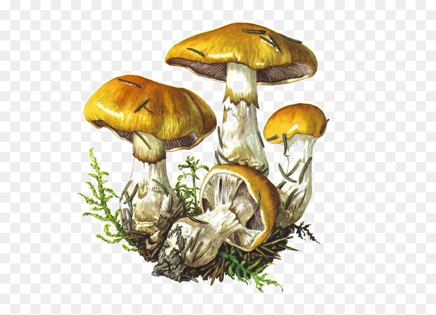 Fungus Drawing Trippy Mushroom Botanical Illustration Hd Png