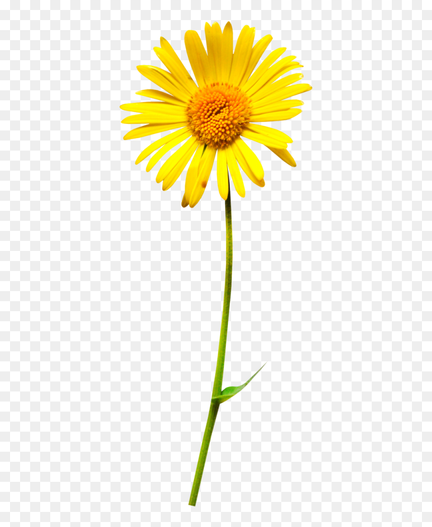 Oxeye Daisy Flower Clip Art Daisy With Stem Png Transparent Png Vhv