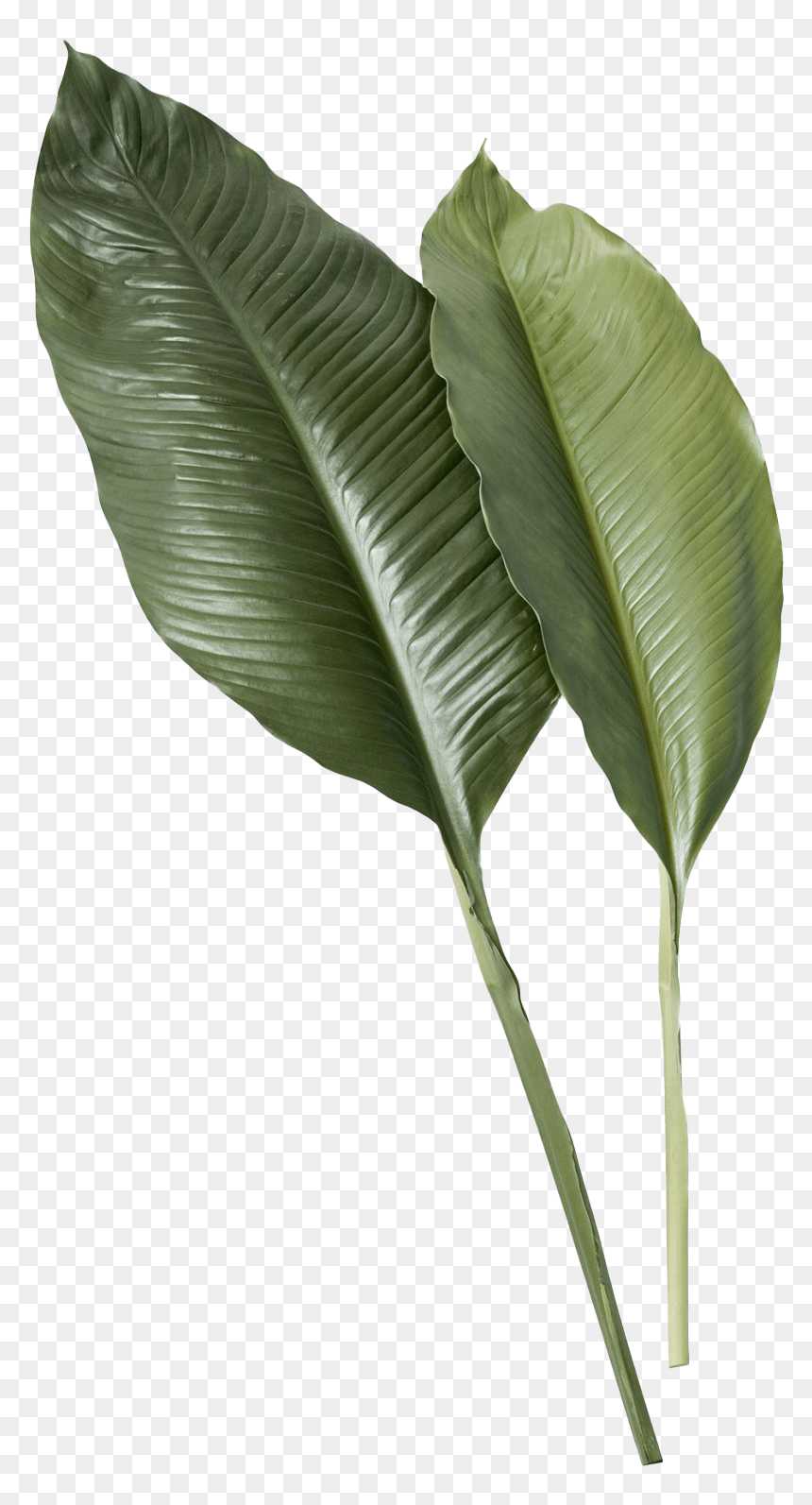 Leaf Png Image Transparent Tropical Leaves Png Png Download Vhv Large collections of hd transparent tropical leaves png images for free download. leaf png image transparent tropical