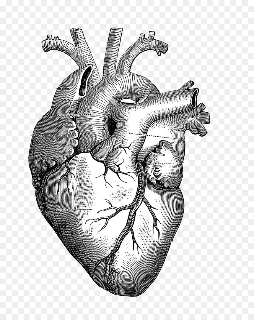 Drawing Anatomy Heart Diagram - Beating Heart Drawing Gif ...