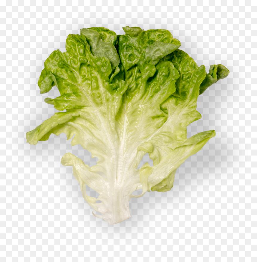Lettuce Clip Art - Royalty Free - GoGraph
