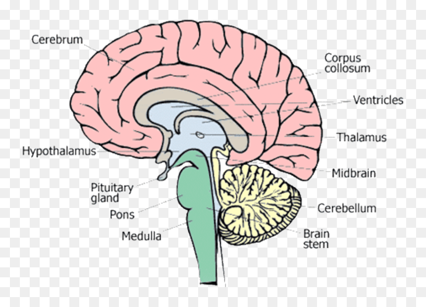 1 Different Parts Of Human Brain 13 - Diagram Parts Of ...