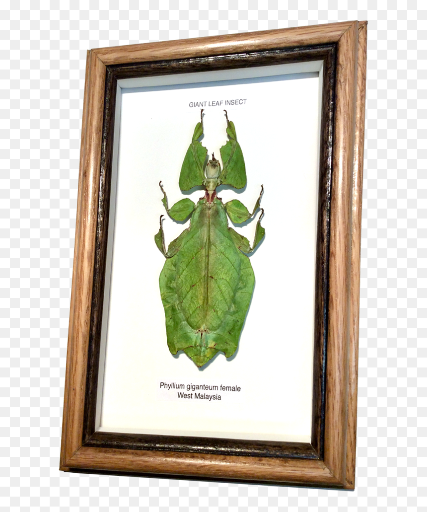 Wildwood Insects Framed Tropical Leaf Insect Picture Frame Hd Png Download Vhv 80 transparent png illustrations and cipart matching leaves frame. vhv rs