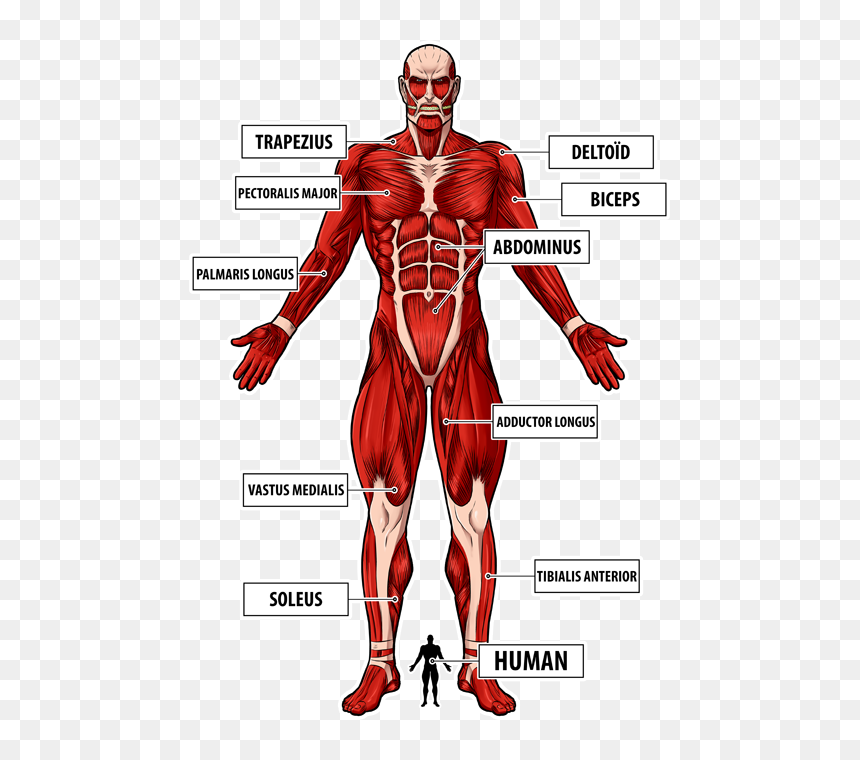 The Colossal Titan Preview Wall Titan Attack On Titan Full Body Hd Png Download Vhv