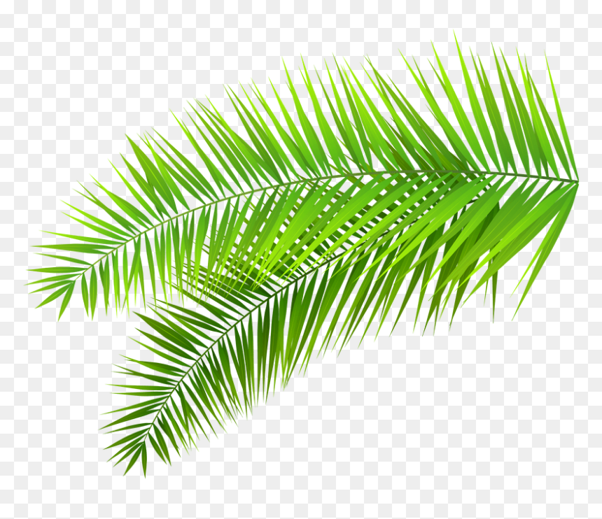 Coconuts Vector Palm Tree Palm Leaves Transparent Background Hd Png Download Vhv 115,000+ vectors, stock photos & psd files. coconuts vector palm tree palm leaves