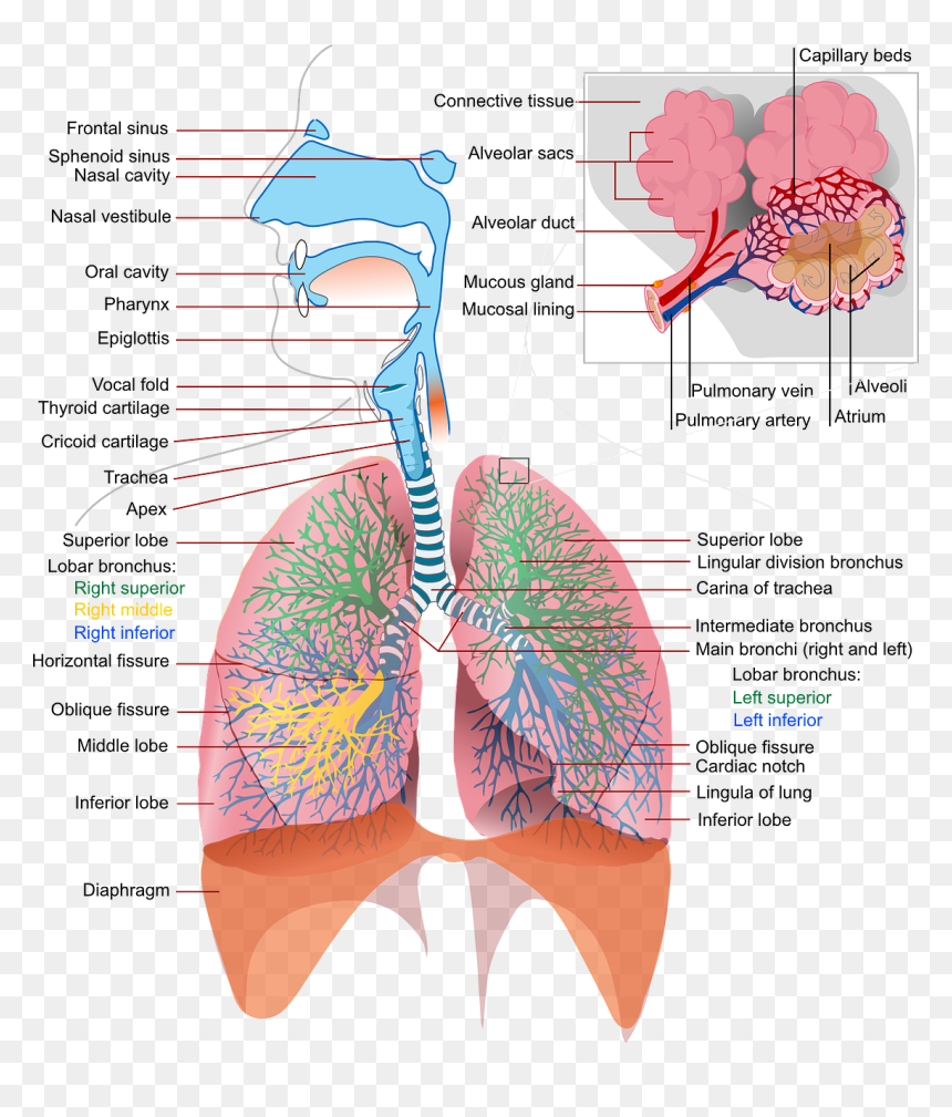 Detailed Respiratory System Labeled  Hd Png Download
