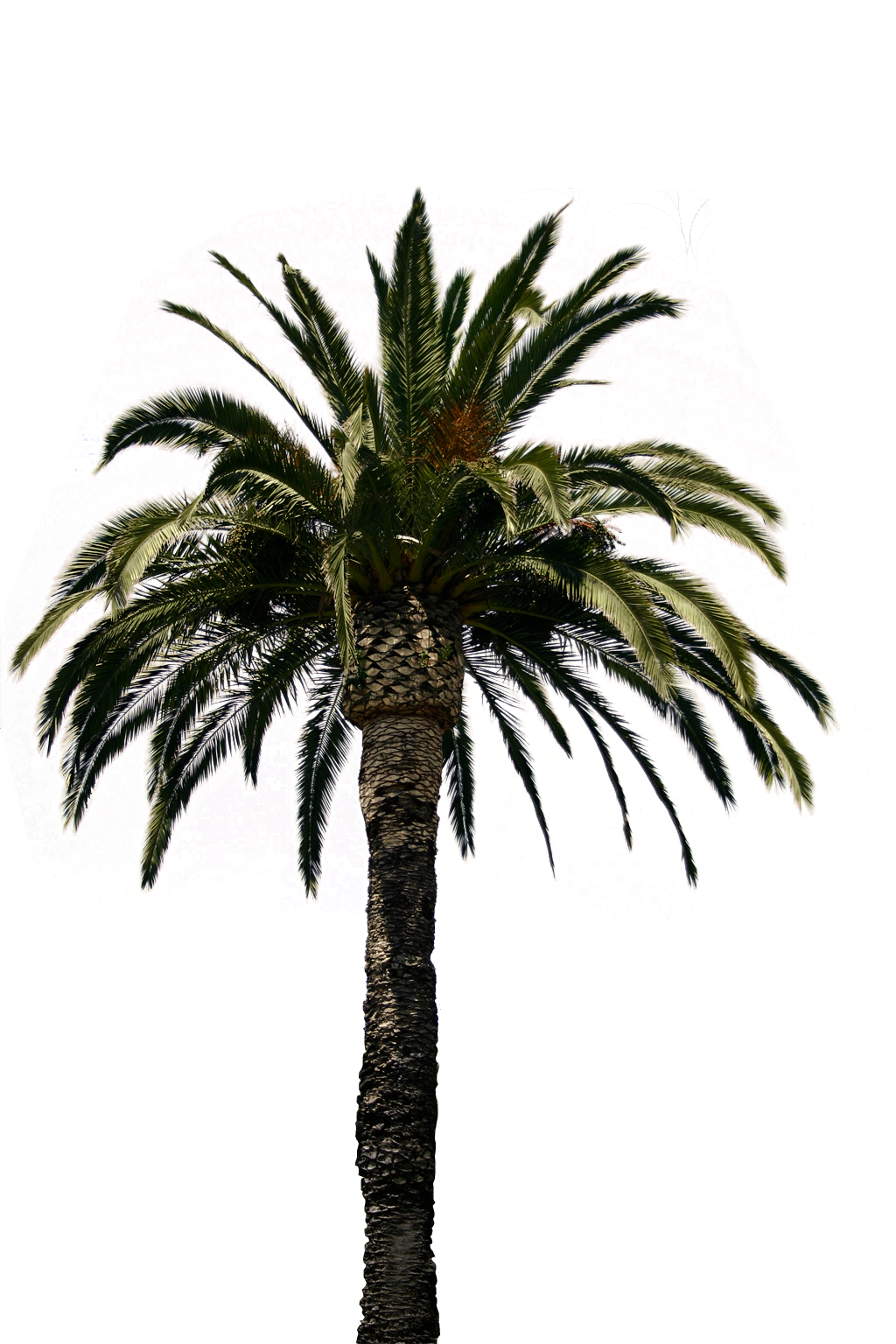 Real Palm Tree Png ,HD PNG . (+) Pictures - vhv.rs