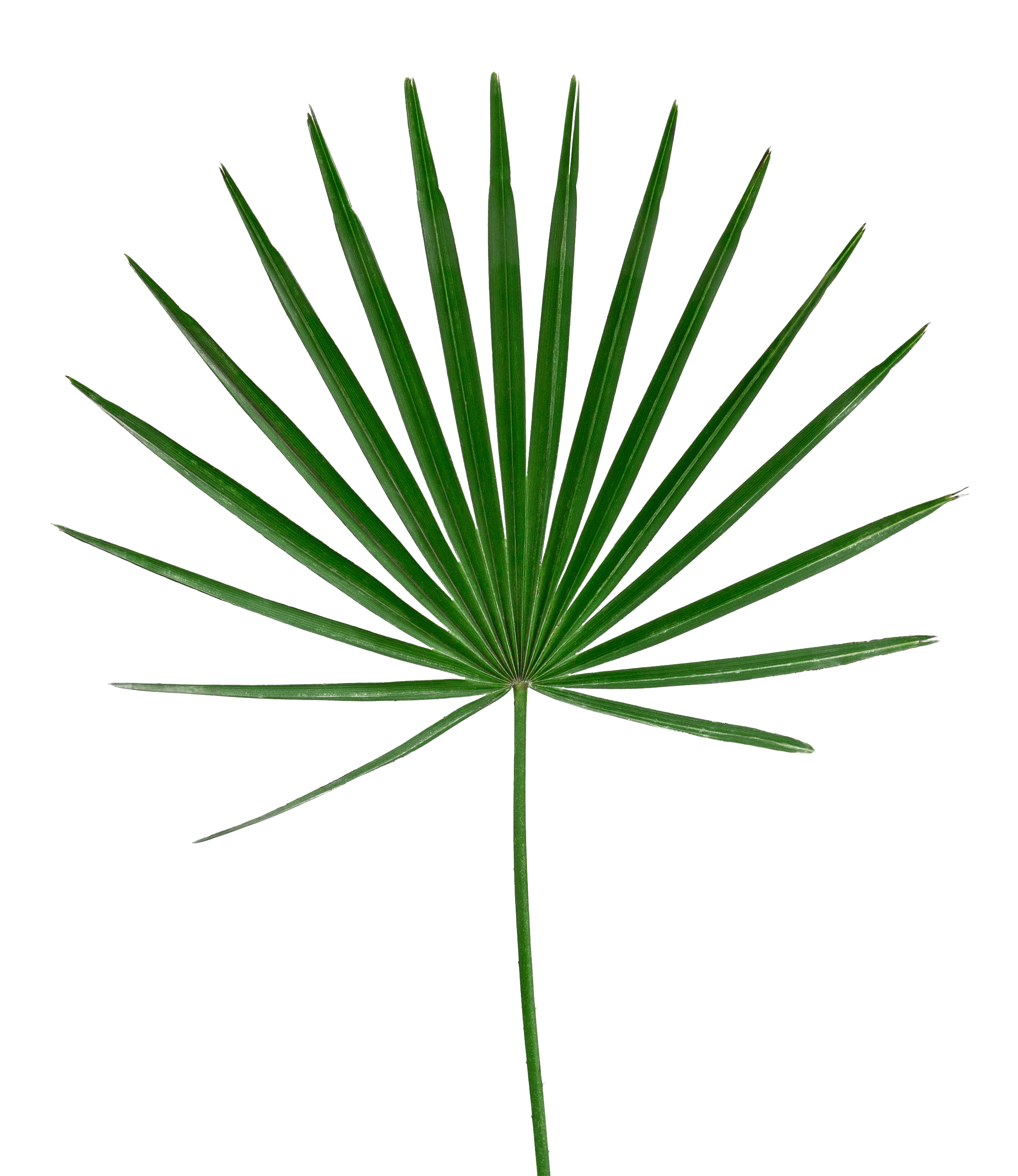 Tropical Leaf Png ,HD PNG . (+) Pictures - vhv.rs